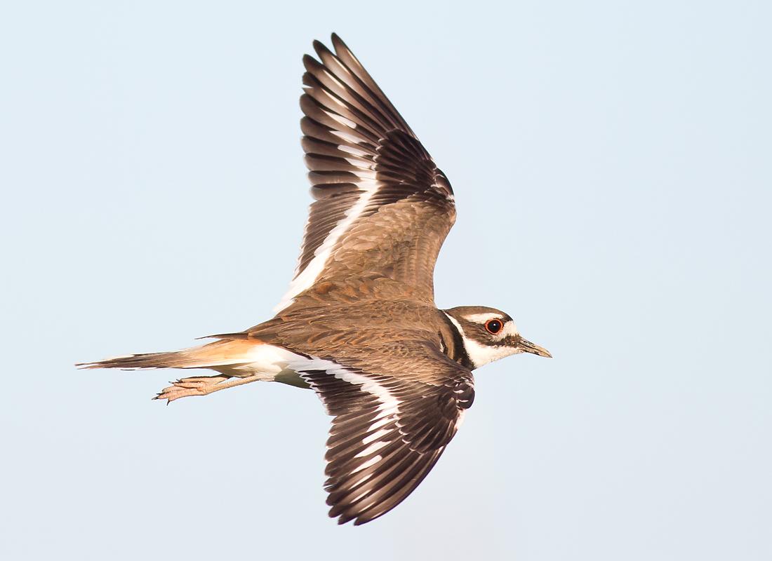 IMAGE: http://ruhikant.smugmug.com/Birds/5DII/i-4fcWjsK/0/O/HG2A0716aa.jpg